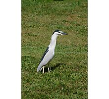 Crested Heron Photographic Print