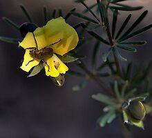 Beetle on Native Pea by Ian English