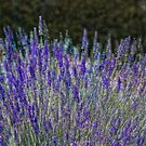 Lavender Array by sundawg7