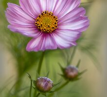Cosmos Revisited by Dianne English