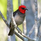 Red-headed Honeyeater_Channel Islands Road_Darwin by Alwyn Simple