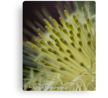 Dryandra Flower Canvas Print