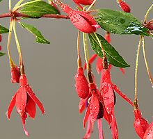 Fuschia by Andy49