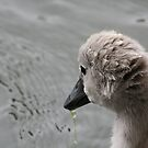 Cygnet by mpstone