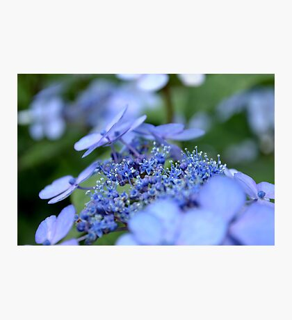 Taube Lace Cap Hydrangea Photographic Print