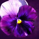 GIANT PANSY:  PURPLE HAZE by PatChristensen