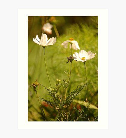 Garden Cosmea, East Devon Art Print
