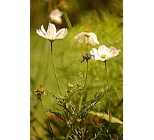 Garden Cosmea, East Devon Photographic Print