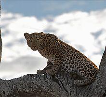 Alert Leopard by CraigSev