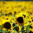 Sunflower Fields Forever by laurarandall