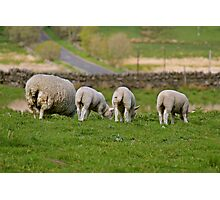 Wooly Bottoms Photographic Print