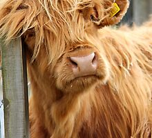 Highland Cow by WhirlwindPress