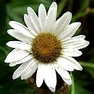 Oxeye Daisy by Ron Russell