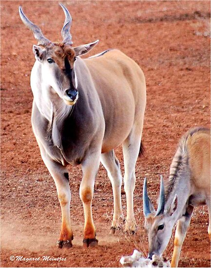 THE ELAND BULL AND YOUNG BULL CALF – Taurotragus oryx – Eland koei en kalf by Magaret Meintjes