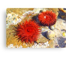 Two Red Sea Anemones Canvas Print
