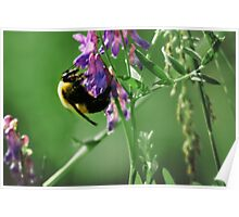Bumble Bee Sampling Nectar Poster
