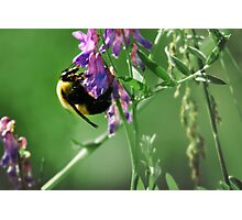 Bumble Bee Sampling Nectar Photographic Print