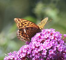 Silver Washed Fritillary butterfly  by Rivendell7