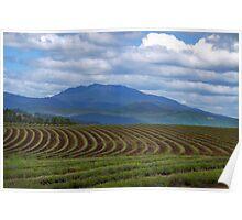 Tasmania Lavender farm Poster