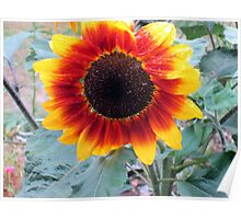 a lovely sunflower in my neighbours garden Poster