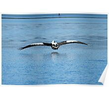 Pelican Skimming the Water... Poster