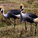Pair of Grey Crowned Cranes (Balearica regulorum) Ngorongoro Crater Tanzania by john  Lenagan