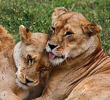 Sisters  -   ( Lion –  Panthera leo )  Lake Nadutu Southern Serengeti  Tanzania by john  Lenagan
