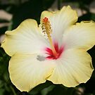 Yellow Hibiscus With Garden Background by taiche