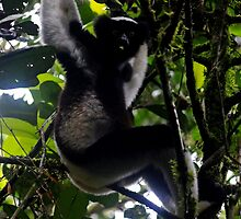 Indri   Lemur  -  Vecona  Andasibe  Madagsacar by john  Lenagan