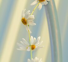 Daisy Chain by Elaine Teague