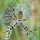 Wasp Spider 2 by Alan Forder
