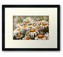 Flower - Daisy - Not quite fresh as a daisy Framed Print