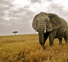 African Elephant on the Serengeti by WhirlwindPress