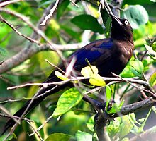 Grackle by ♥⊱ B. Randi Bailey