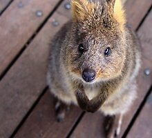 Quokka - Well hello there by Sarah Guiton