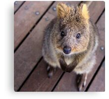 Quokka - Well hello there Canvas Print