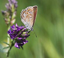 Female Common Blue - Polyommatus icarus by Lepidoptera