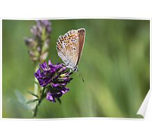 Female Common Blue - Polyommatus icarus Poster