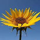 Morning Sunflower Sunshine. by Lee d'Entremont