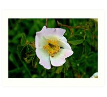 Wild rose and fly-Lake District Art Print