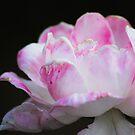 Pink Pleasure by Ravi Chandra