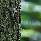 Treecreeper by Jamie  Green
