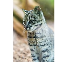 Geoffroy's cat Photographic Print