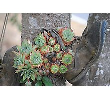 Hens and Chicks in Boots Photographic Print