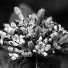 Black and White Buds by Linda  Makiej