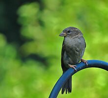 Sparrow Profile by Ron Russell