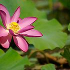 Lotus,Mary River. NT by waxyfrog