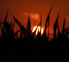 Sun Topped Corn by WildThingPhotos