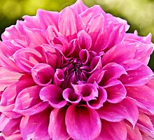 Pink Dahlia by redsnapper205