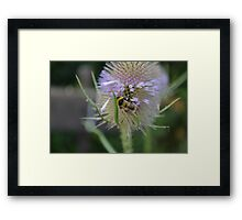 Bumble Bee sitting on a Teasel (Dipsacus) Framed Print